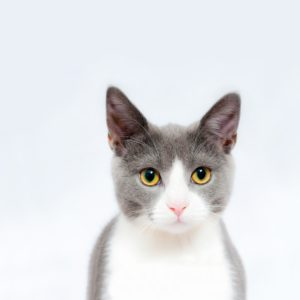 A grey and white cat with yellow eyes